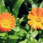 Sprout – crayons de couleur | boîte de 8 crayons en bois naturel bio de la marque SPROUT® image 3 produit